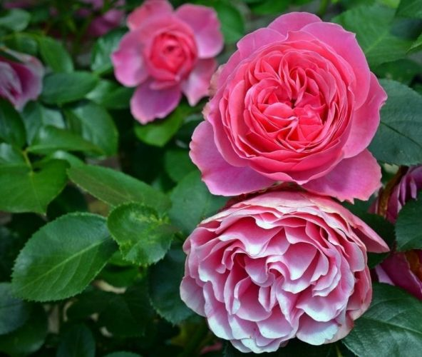 More Summer Roses